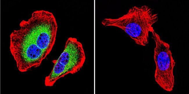 ATP1B1 Antibody (MA3-930) in Immunofluorescence