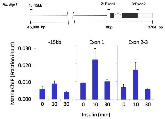 SOX2 Antibody (MA1-014) in ChIP assay