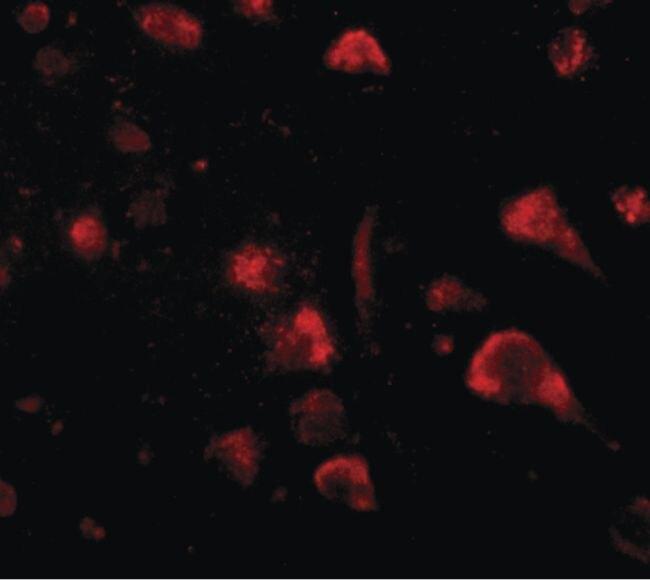 SPRED3 Antibody (PA5-20626) in Immunofluorescence