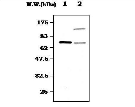 Syk Antibody (MA5-17207)