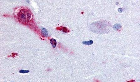 TAAR1 Antibody (PA5-33066) in Immunohistochemistry (Paraffin)