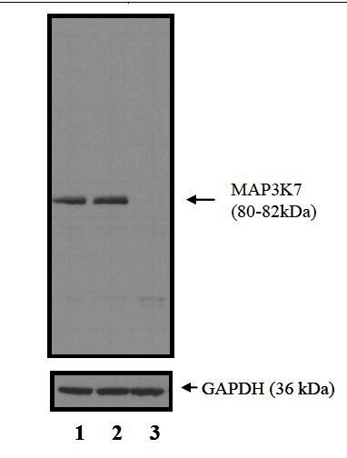 TAK1 Antibody (PA5-17507)