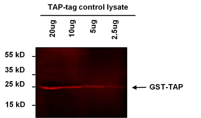 TAP Tag Antibody (MA1-108-D680) in Western Blot
