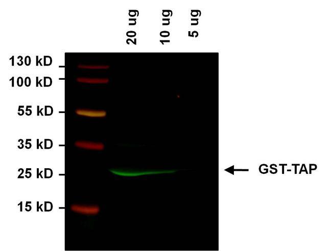 TAP Tag Antibody (MA1-108-D800)