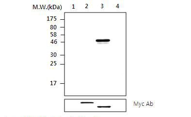 PTPN2 Antibody (MA5-17249) in Western Blot