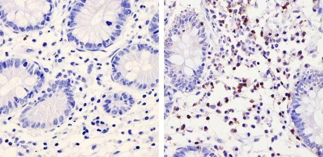 TRAC Antibody (TCR1145) in Immunohistochemistry (Paraffin)