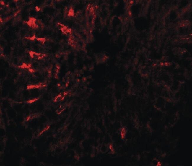 TCTEX1D3 Antibody (PA5-34446)