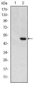 Cripto Antibody (MA5-15843)