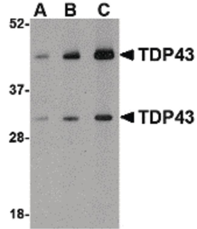 TDP-43 Antibody (PA5-20408) in Western Blot
