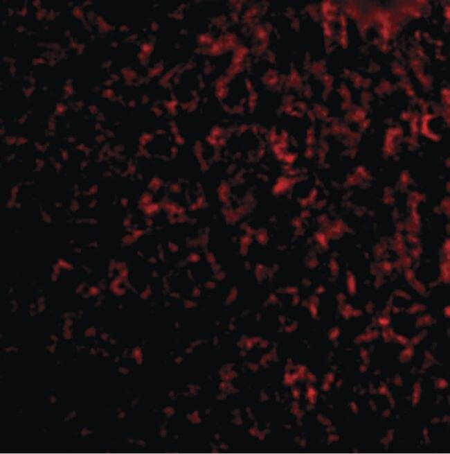 TEM7 Antibody (PA5-20427) in Immunofluorescence