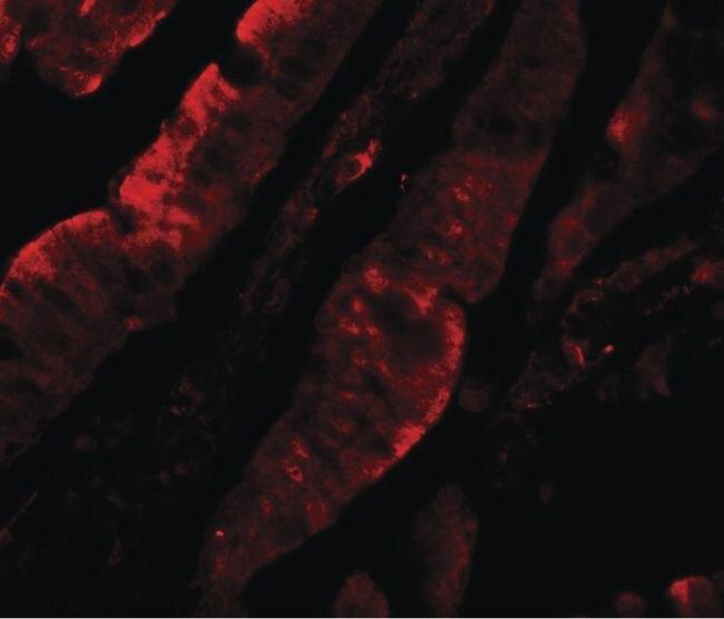 TFPI Antibody (PA5-34578) in Immunofluorescence