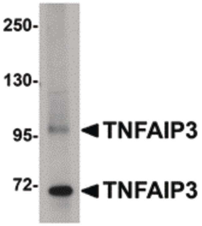 TNFAIP3 Antibody (PA5-20728) in Western Blot