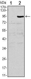TNFRSF11B Antibody (MA5-15726) in Western Blot