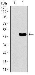 TRAFD1 Antibody (MA5-17190) in Western Blot