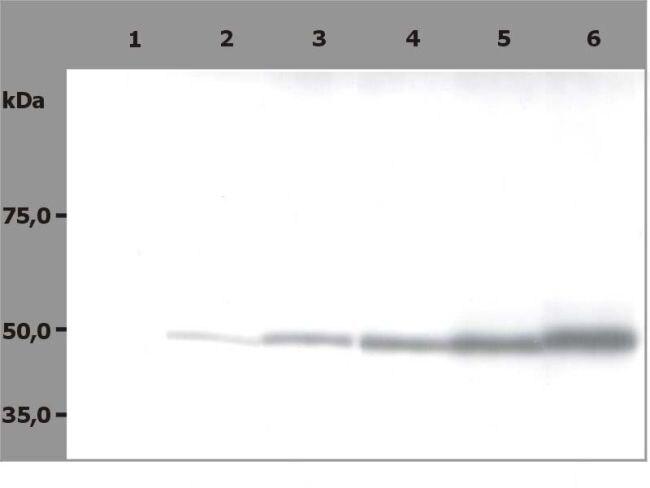 beta Tubulin Antibody (MA1-19164)