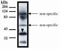 TUP1 Antibody (MA1-12683)