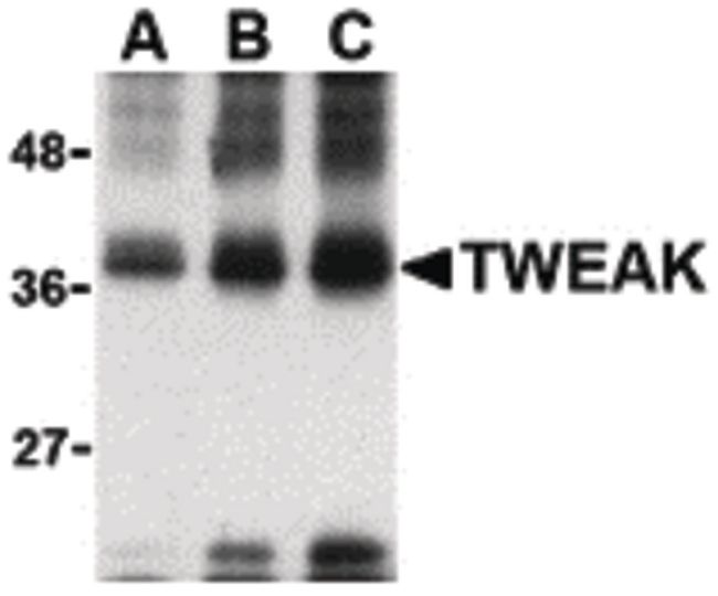 TWEAK Antibody (PA5-20211) in Western Blot
