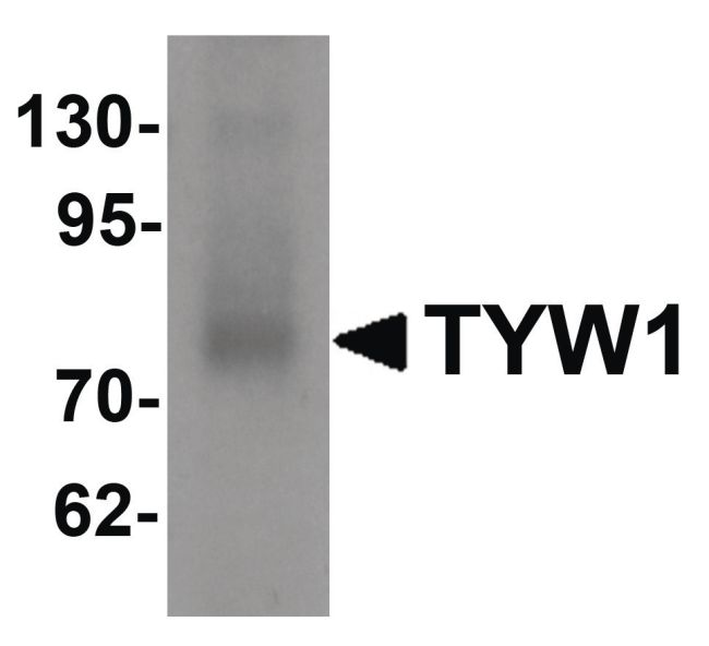 TYW1 Antibody (PA5-21152) in Western Blot
