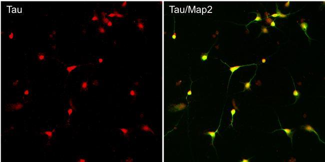 Tau Antibody (710080) in Immunofluorescence