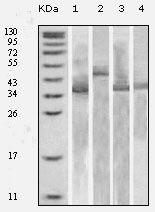 Thioredoxin 1 Antibody (MA5-15333)