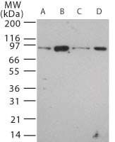 TLR12 Antibody (PA1-41037) in Western Blot