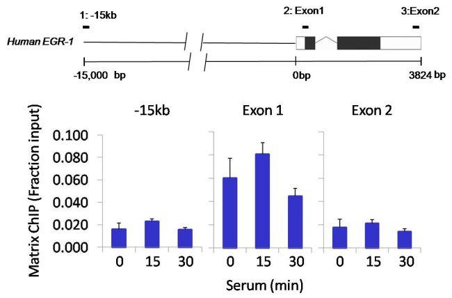 Tri-Methyl-Histone H3 (Lys4) Antibody (MA5-11199) in ChIP assay