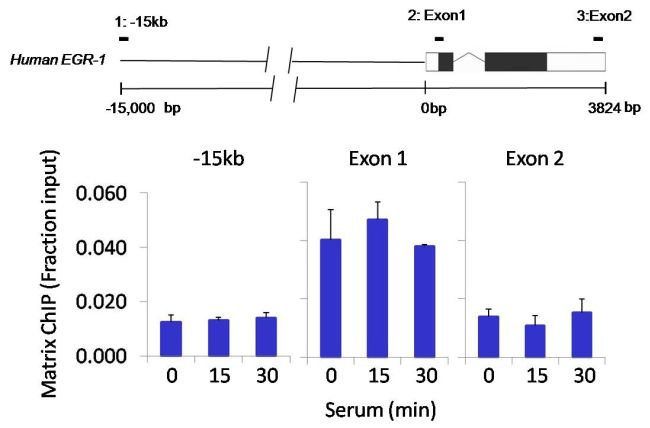 Tri-Methyl-Histone H3 (Lys4) Antibody (PA5-17420) in ChIP assay