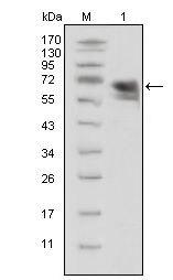 TrkA Antibody (MA5-15509) in Western Blot