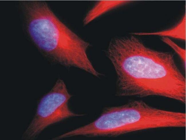 alpha Tubulin Antibody (MA1-19162) in Immunofluorescence