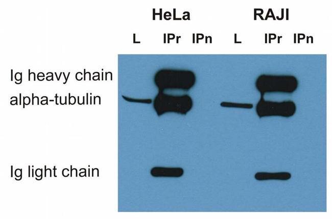 alpha Tubulin Antibody (MA1-19162) in Western Blot