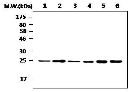 UCHL3 Antibody (MA5-17230)