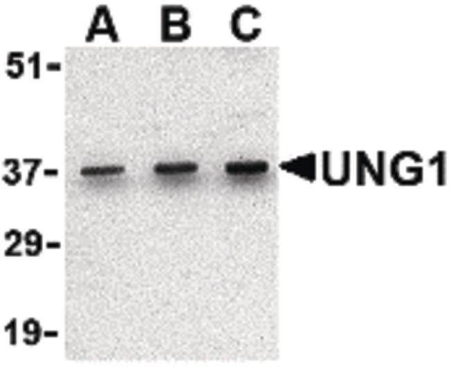 UNG Antibody (PA5-20264) in Western Blot