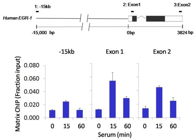 Ubiquitin B Antibody (701339) in ChIP assay