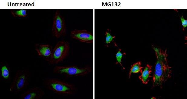 Ubiquitin Antibody (MA1-10035)