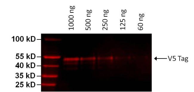 V5 Tag Antibody (MA5-15253-D680) in Western Blot