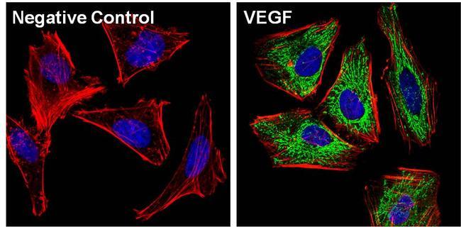 VEGF Antibody (P931) in Immunofluorescence
