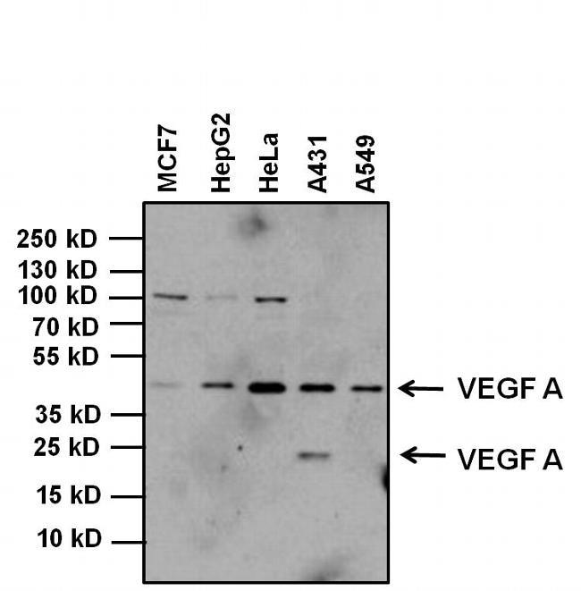 VEGF Antibody (PA5-16754) in Western Blot