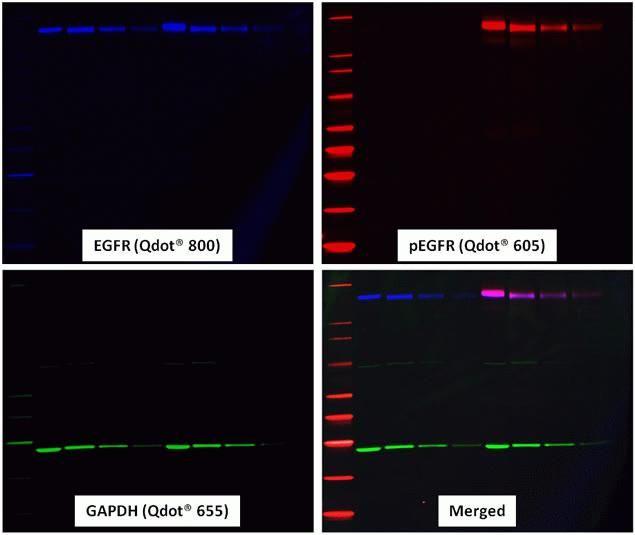Goat IgG Secondary Antibody (W10807) in Western Blot