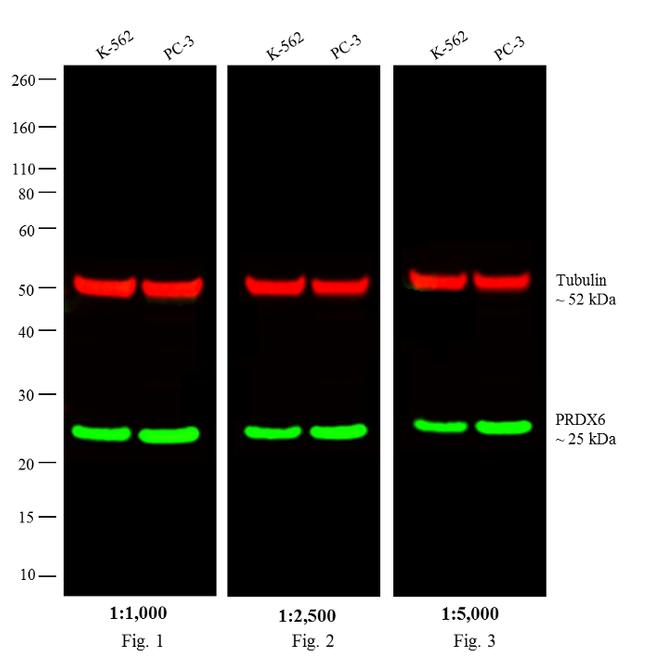 Rabbit IgG Secondary Antibody (W10824) in Western Blot