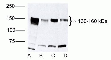 ZO-2 Antibody (38-9100) in Western Blot