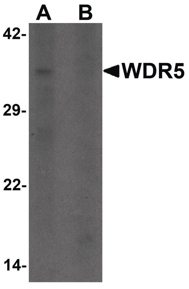 WDR5 Antibody (PA5-34379) in Western Blot