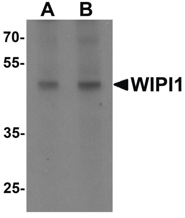 WIPI1 Antibody (PA5-34452) in Western Blot