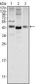 WNT1 Antibody (MA5-15544) in Western Blot