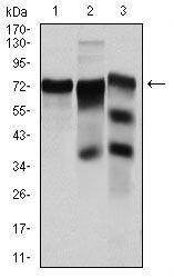 YAP1 Antibody (MA5-17200) in Western Blot