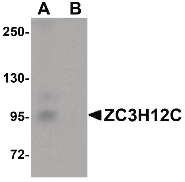 ZC3H12C Antibody (PA5-20928) in Western Blot