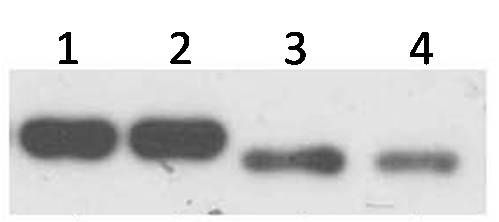 ZNF707 Antibody (PA5-21803) in Western Blot