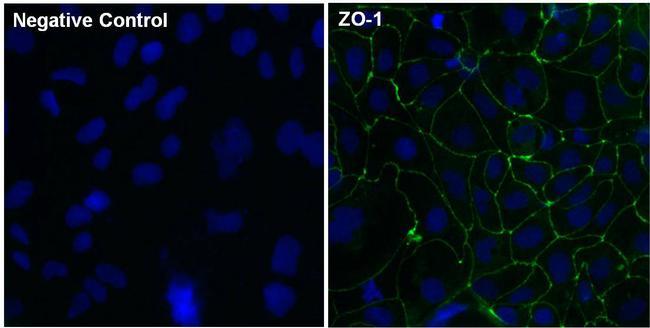 ZO-1 Antibody (33-9100) in Immunofluorescence