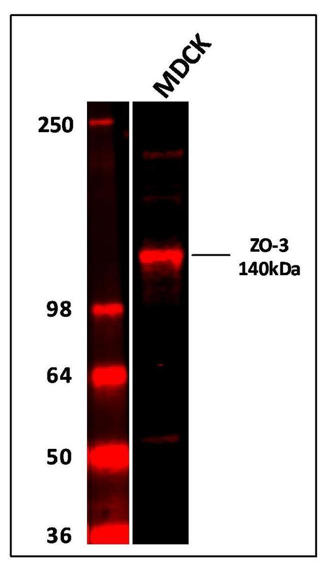 ZO-3 Antibody (36-4000) in Western Blot