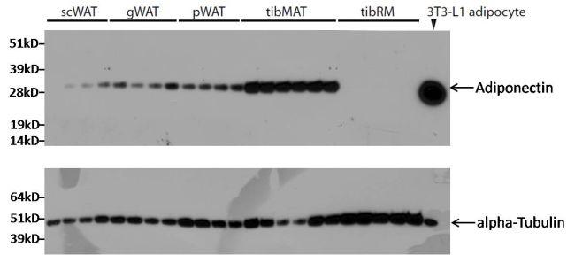 alpha Tubulin Antibody (MA1-80017)