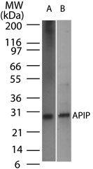 APIP Antibody (MA1-41247) in Western Blot